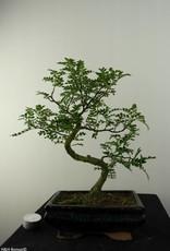 Bonsai Faux poivrier,Zanthoxylum piperitum, no. 6842