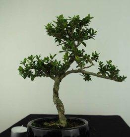 Bonsai Ilex crenata, Japanse hulst, nr. 6891