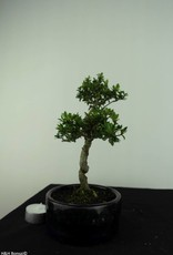 Bonsai Houx japonais, Ilexcrenata, no. 6891
