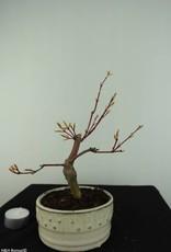 Bonsai L'Erable du Japon, Acer Palmatum, no. 6894