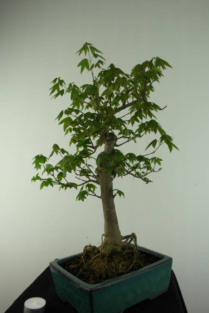 Bonsai L'Erable de Burger, Acer buergerianum, no. 6909