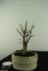 Bonsai Grenadier, Punica granatum, no. 6932