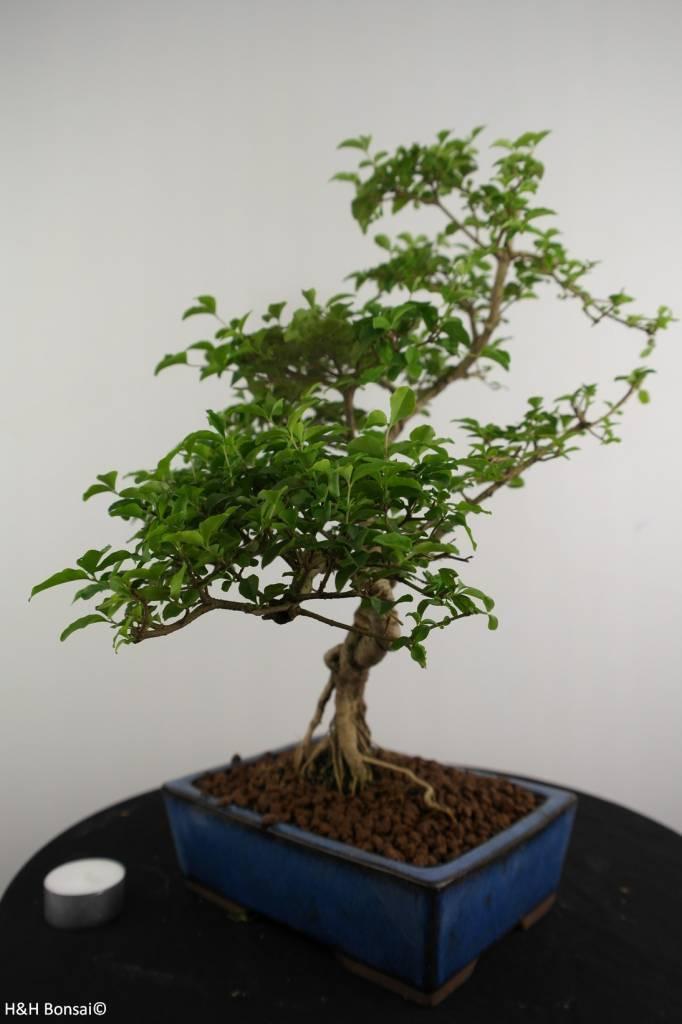 Bonsai Troène, Ligustrum sinense, no. 6986