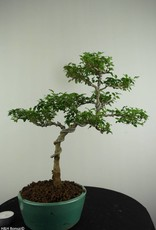 Bonsai Troène, Ligustrum sinense, no. 6988