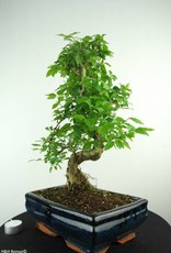 Bonsai Troène, Ligustrum nitida, no. 6991