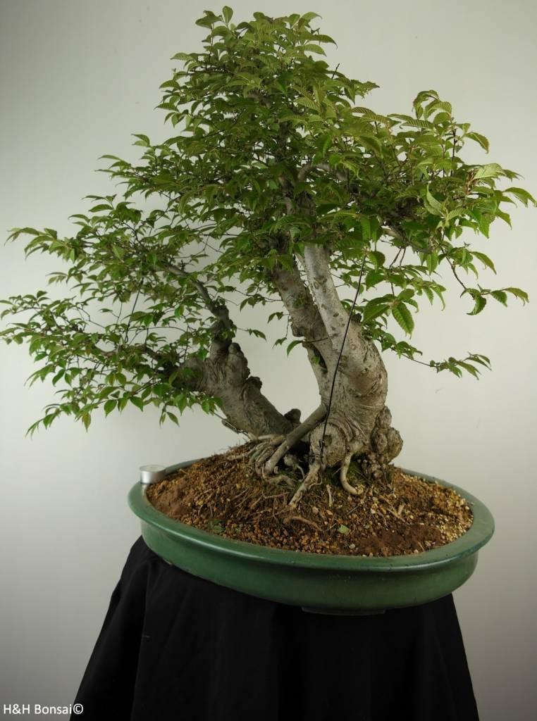 Bonsai Orme de Chine, Ulmus, no. 7009