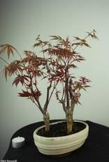 Bonsai L'Erable du Japon, Acer Palmatum, no. 7017