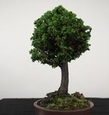 Bonsai Chamaecyparis crispii, nr. 2775