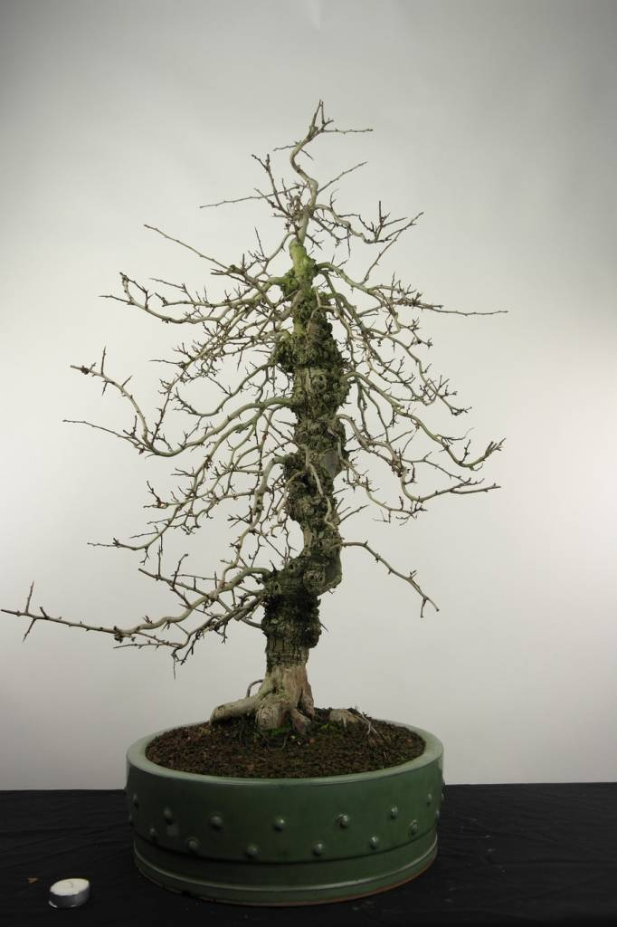 Bonsai Crataegus cuneata, double red, nr. 4589