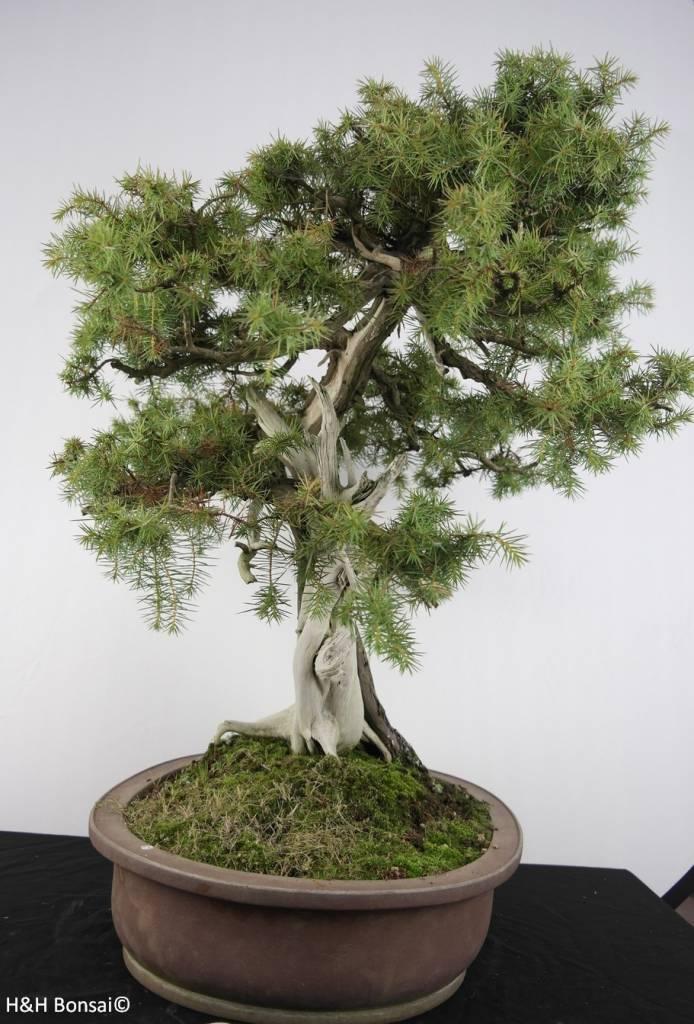 bonsai japanische igelwacholder juniperus rigida nr. Black Bedroom Furniture Sets. Home Design Ideas