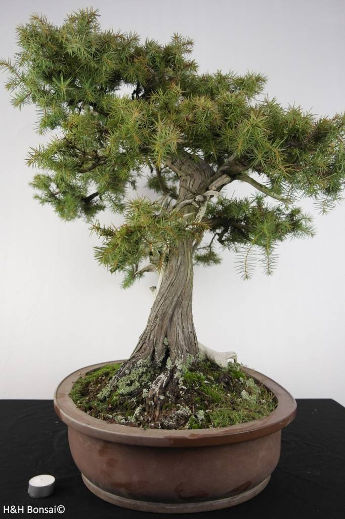 bonsai japanische igelwacholder juniperus rigida nr. Black Bedroom Furniture Sets. Home Design Ideas