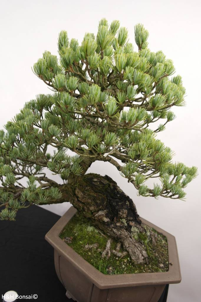 bonsai m dchenkiefer pinus penthaphylla nr 5163 www. Black Bedroom Furniture Sets. Home Design Ideas