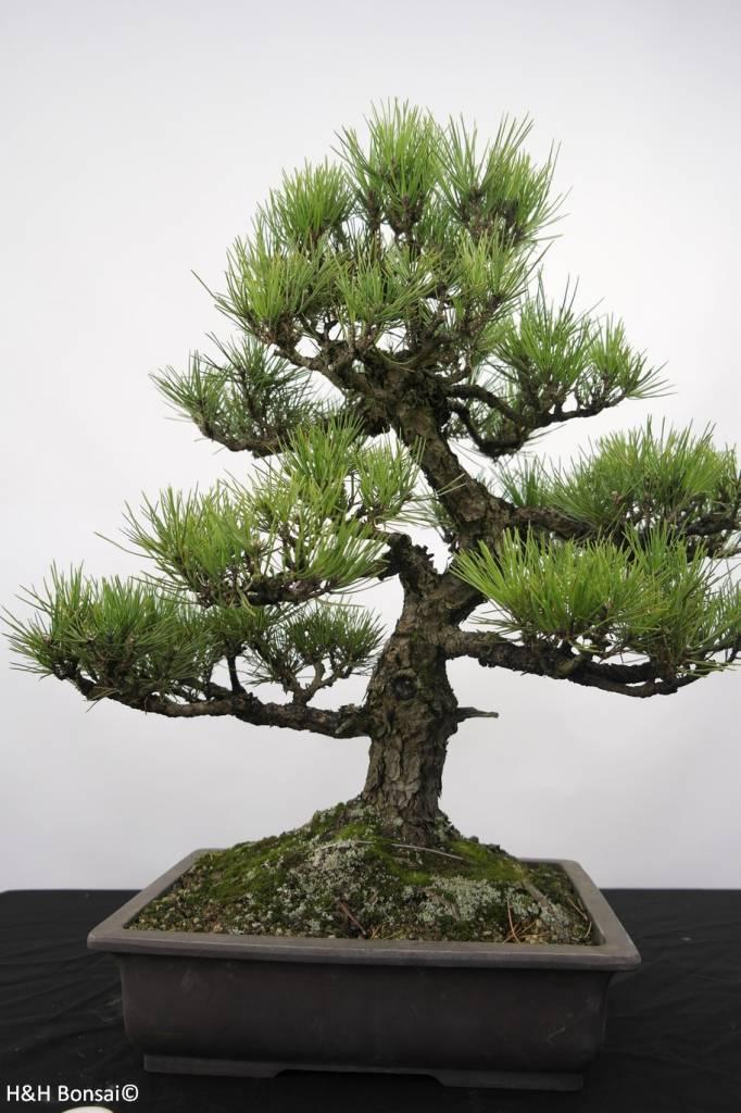 Bonsai Schwarzkiefer, Pinus thunbergii, nr. 5168