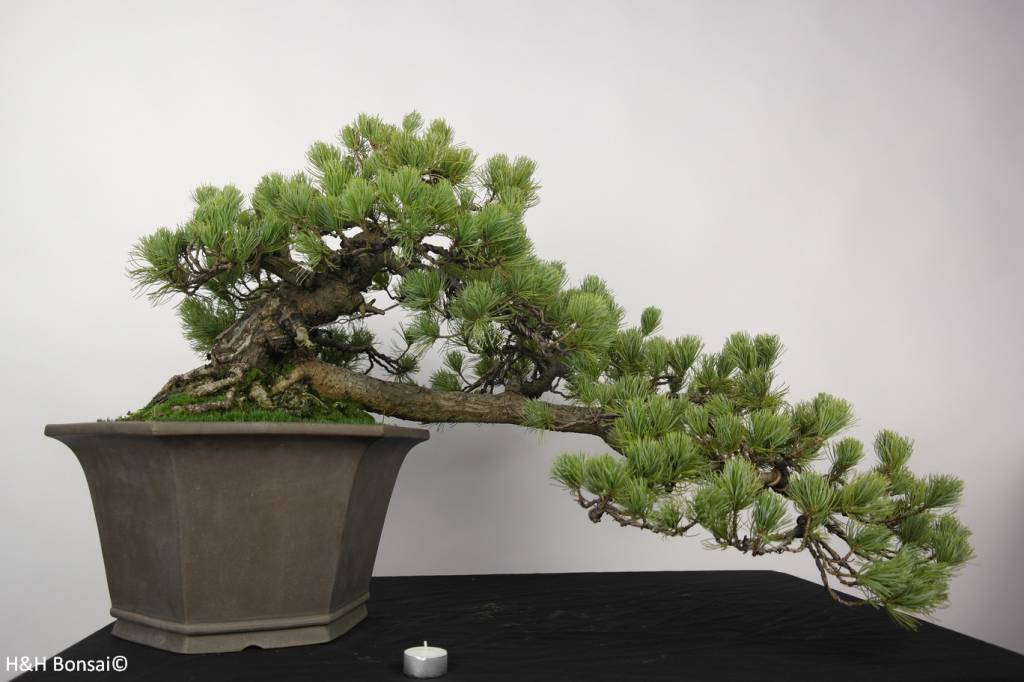 bonsai m dchenkiefer pinus penthaphylla nr 5172 www. Black Bedroom Furniture Sets. Home Design Ideas