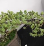 Bonsai Mädchenkiefer, Pinus penthaphylla, nr. 5172