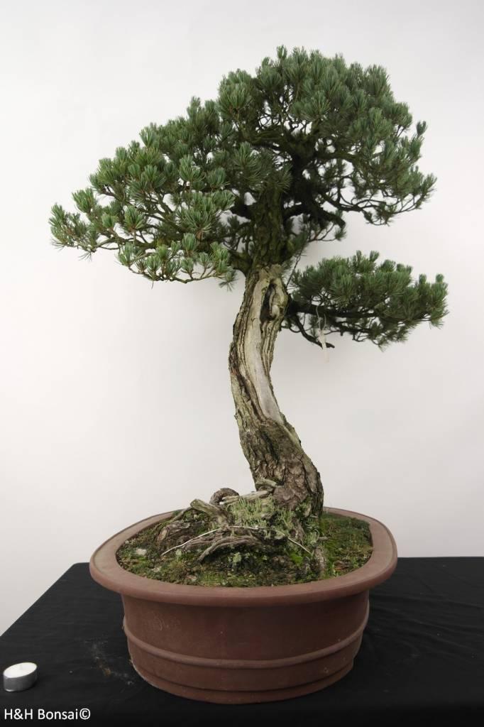 bonsai m dchenkiefer pinus penthaphylla nr 5173 www. Black Bedroom Furniture Sets. Home Design Ideas