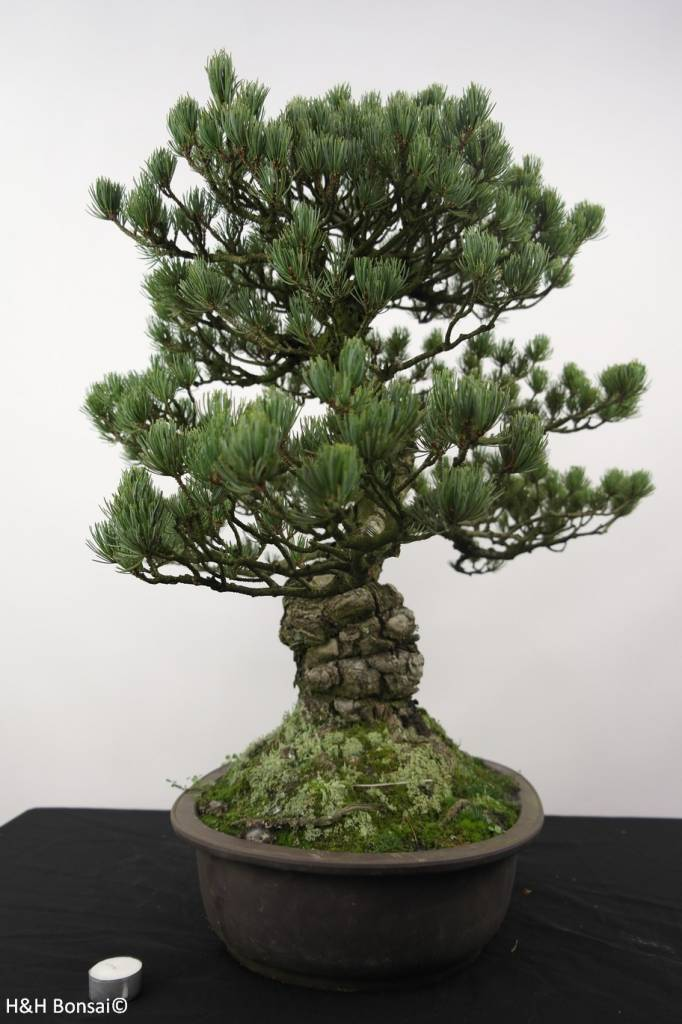 bonsai m dchenkiefer pinus penthaphylla nr 5174 www. Black Bedroom Furniture Sets. Home Design Ideas