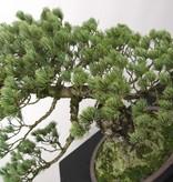 Bonsai Mädchenkiefer, Pinus penthaphylla, nr. 5174