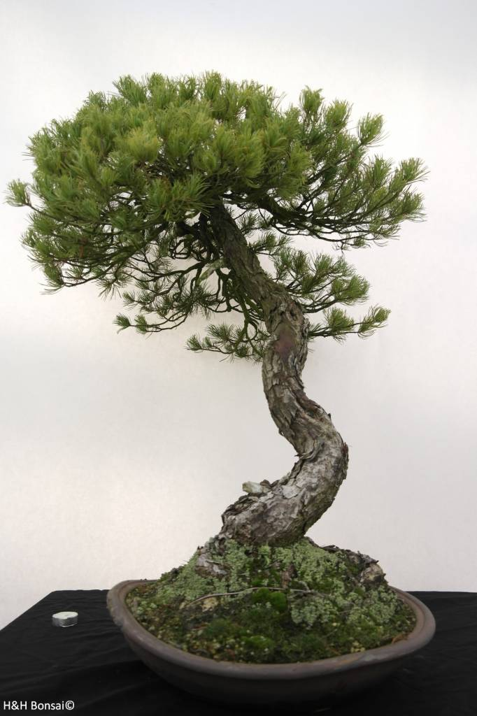 bonsai m dchenkiefer pinus parviflora nr 5258 www. Black Bedroom Furniture Sets. Home Design Ideas