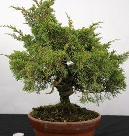 Bonsai Chin. Wacholder, Juniperus chinensis itoigawa, nr. 5274