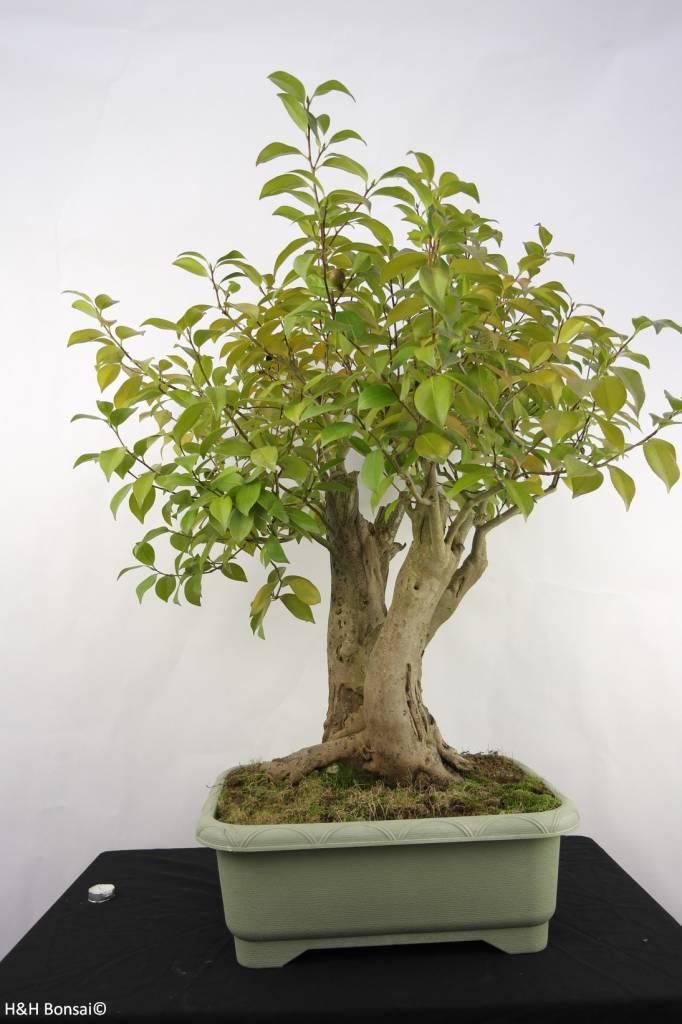 bonsai kamelie camellia japonica nr 5279 www. Black Bedroom Furniture Sets. Home Design Ideas