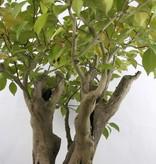 Bonsai Kamelie, Camellia japonica, nr. 5279