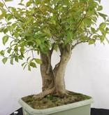 Bonsai Camellia japonica, raw material, no. 5279