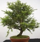 Bonsai Nordjapanische Hemlocktanne, Tsuga diversifolia, nr. 5280