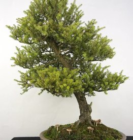 Bonsai Northern Japanese Hemlock, Tsuga diversifolia, no. 5283