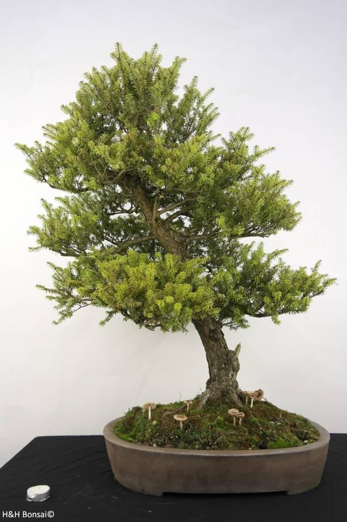 bonsai nordjapanische hemlocktanne tsuga diversifolia nr. Black Bedroom Furniture Sets. Home Design Ideas