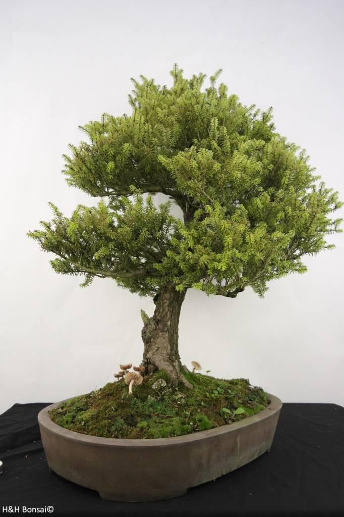 Bonsai Nordjapanische Hemlocktanne, Tsuga diversifolia, nr. 5283