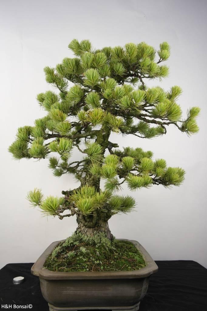 bonsai m dchenkiefer pinus penthaphylla nr 5299 www. Black Bedroom Furniture Sets. Home Design Ideas