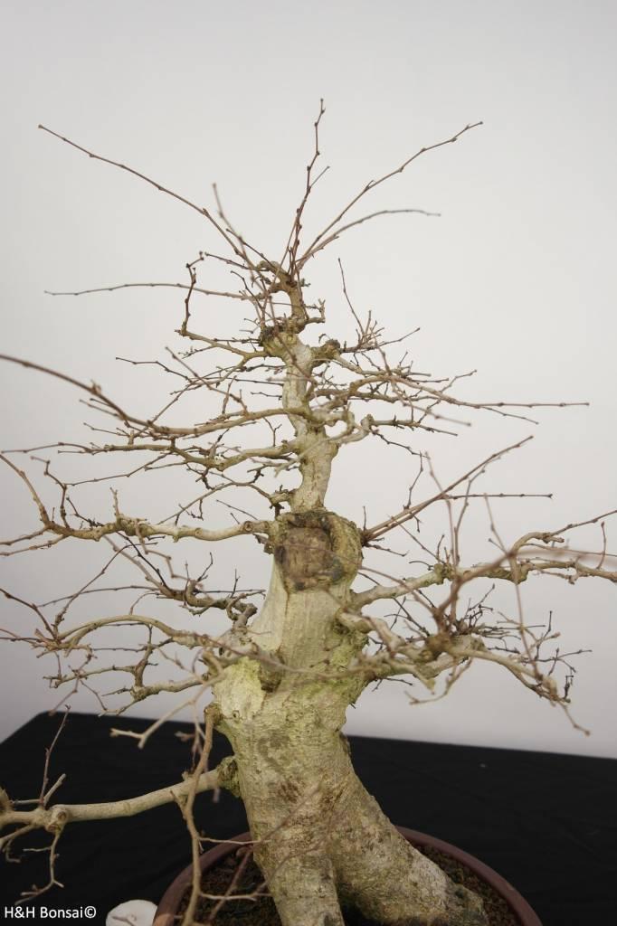 Bonsai Koreanische Hainbuche, Carpinus coreana, nr. 5227