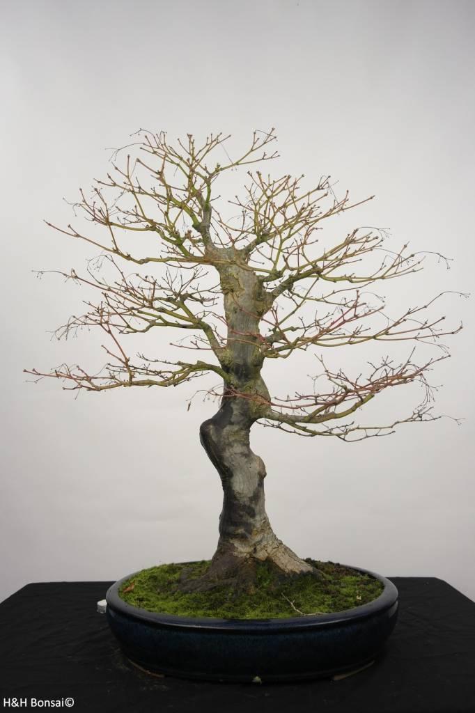 bonsai jap f cherahorn acer palmatum nr 5232 www. Black Bedroom Furniture Sets. Home Design Ideas