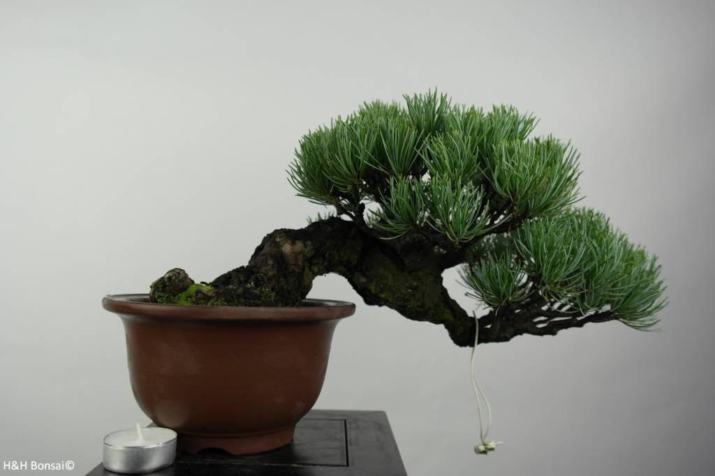 bonsai shohin m dchenkiefer pinus parviflora nr 5397. Black Bedroom Furniture Sets. Home Design Ideas