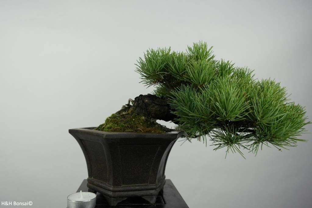 bonsai shohin m dchenkiefer pinus parviflora nr 5398. Black Bedroom Furniture Sets. Home Design Ideas