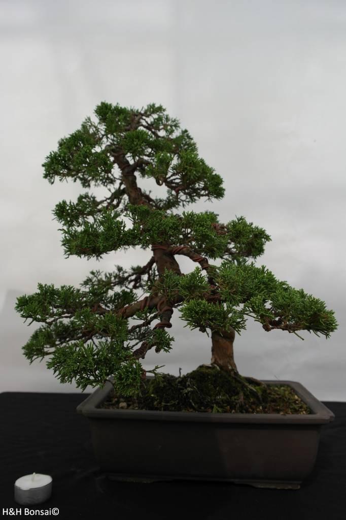 Bonsai Chin. Wacholder, Juniperus chinensis, no. 5495