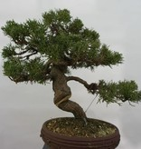 Bonsai Chinese Juniper, Juniperus chinensis, no. 5498