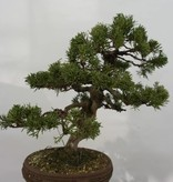 Bonsai Chin. Wacholder, Juniperus chinensis, no. 5498