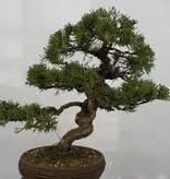 Bonsai Chin. Wacholder, Juniperus chinensis, no. 5498