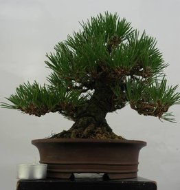 Bonsai Shohin Schwarzkiefer, Pinus thunbergii, no. 5506