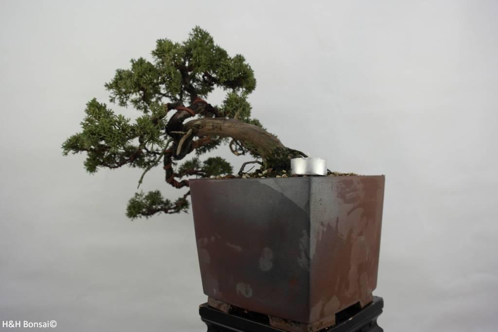Bonsai Chin. Wacholder, Juniperus chinensis, nr. 5540