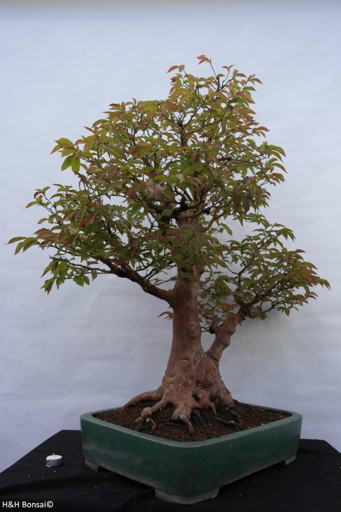 Bonsai Stewartia, nr. 5118