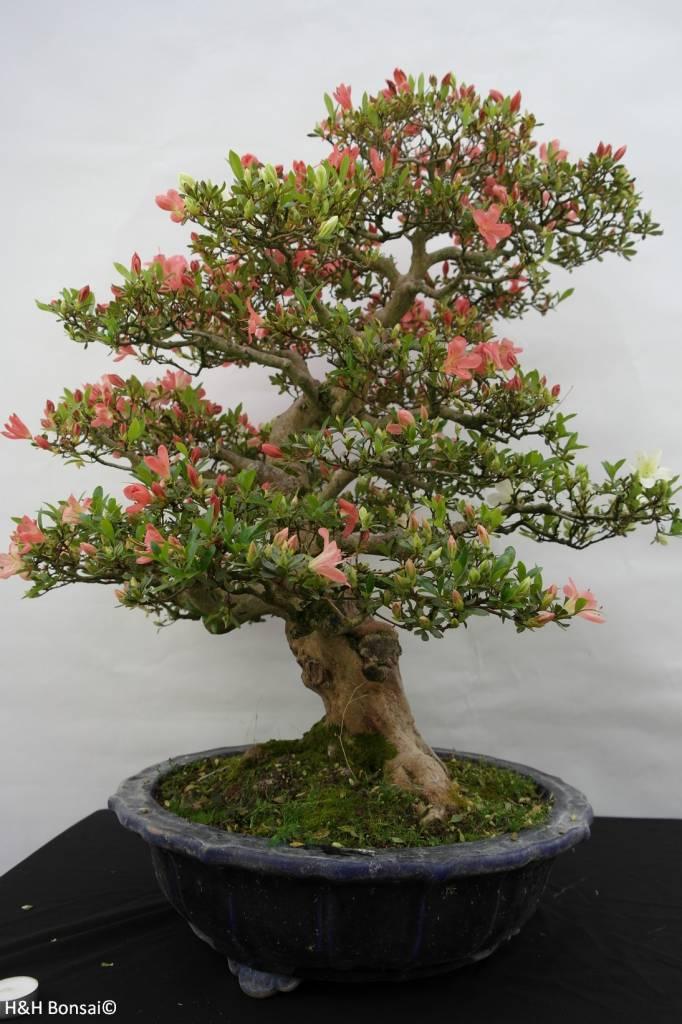 bonsai azalee satsuki azalea satsuki shinkyo nr 5684. Black Bedroom Furniture Sets. Home Design Ideas