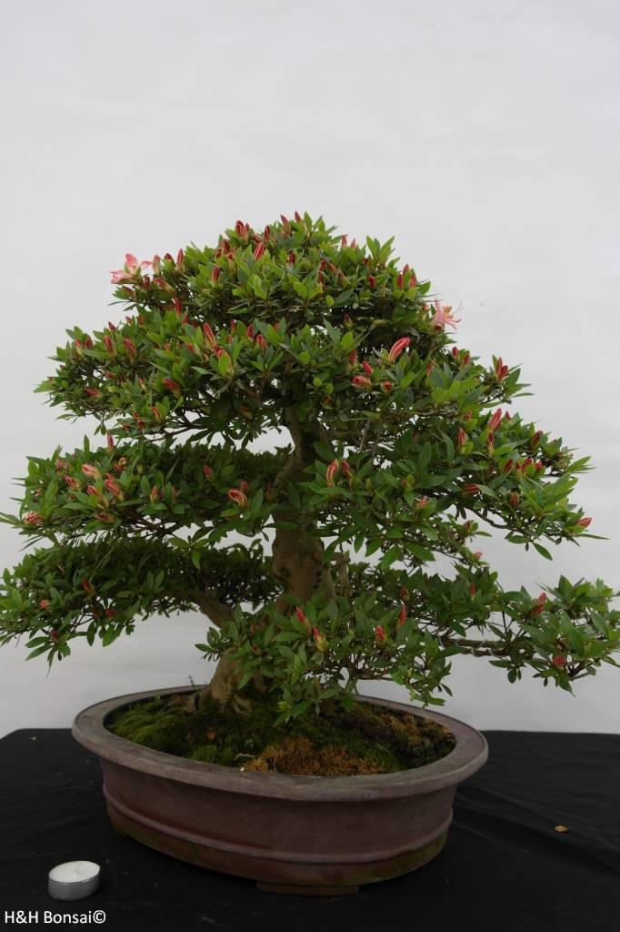 bonsai azalee satsuki azalea satsuki akane nr 5400. Black Bedroom Furniture Sets. Home Design Ideas