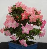 Bonsai Azalea SatsukiJuko no Homare, no. 5689