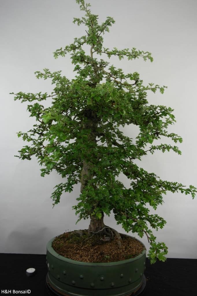 Bonsai Hawthorn, Crataegus cuneata, double red, no. 4589
