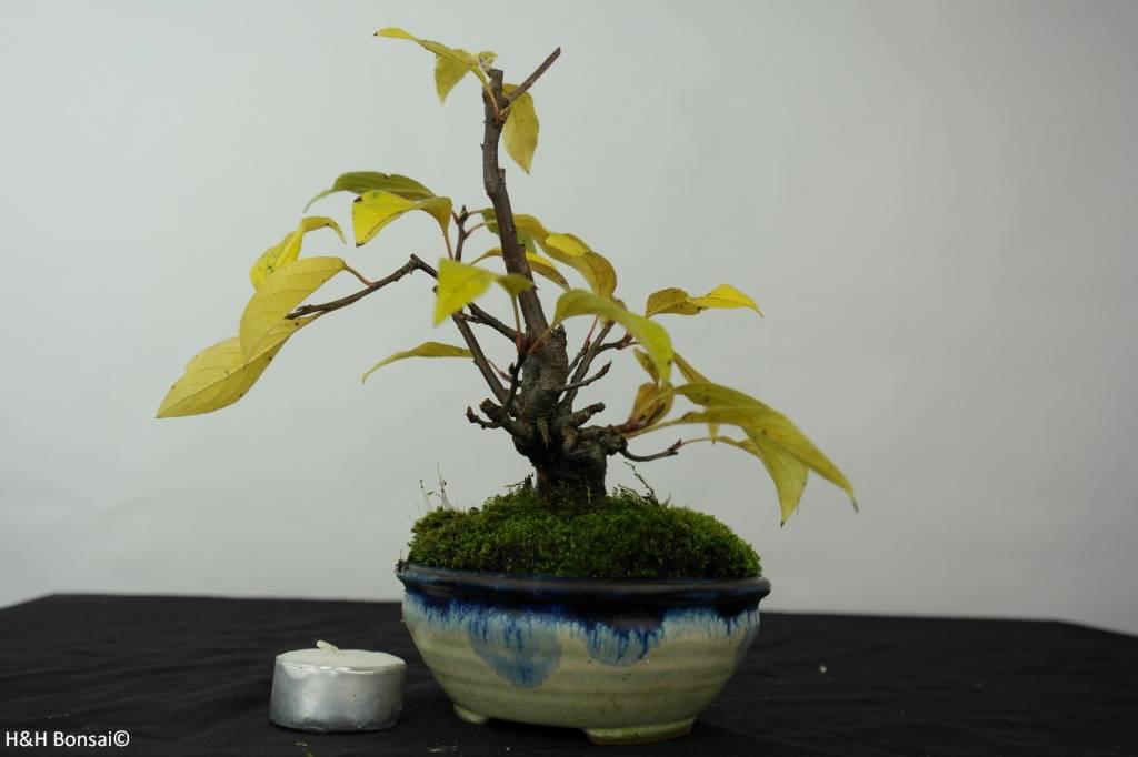 Bonsai Shohin Zierapfel, Malus sp., nr. 5421