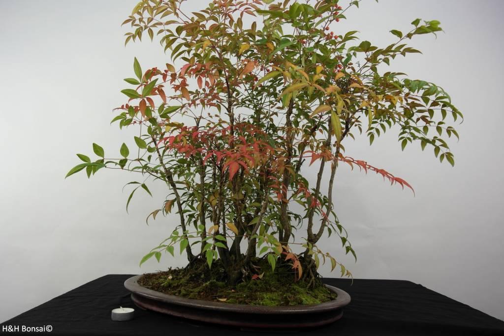Bonsai Nandina domestica, nr. 5731