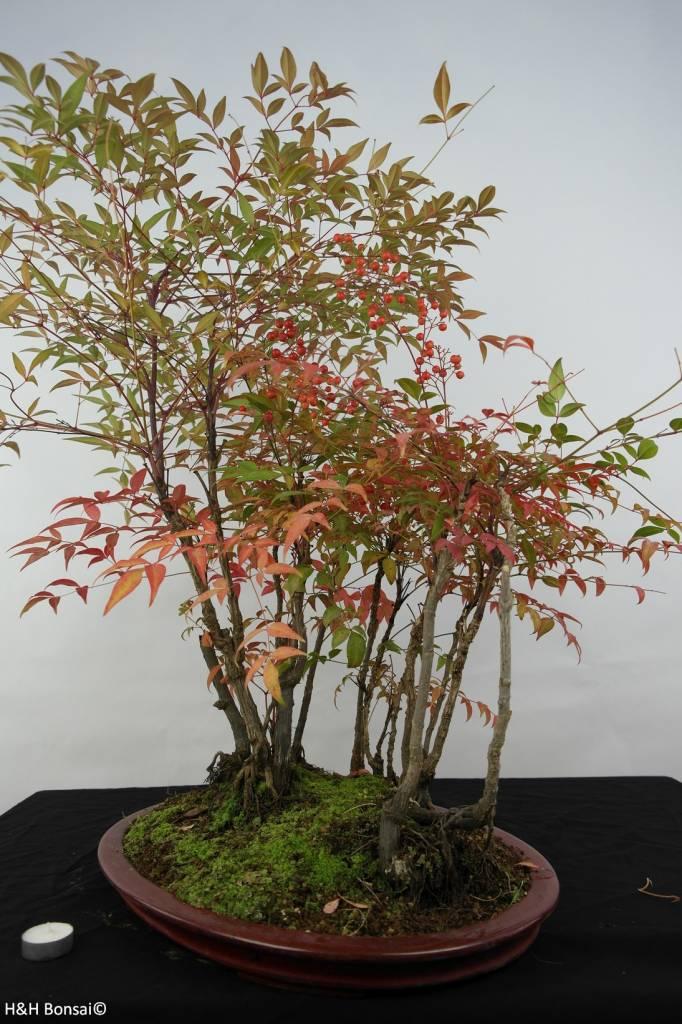 Bonsai Nandina domestica, nr. 5732
